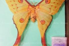 """Fluture """"Argema mittrei"""" din Madagascar"""