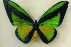 "Fluture ""Ornithoptera goliath procus"" din Indonezia"