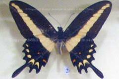 "Fluture ""Papilio hectorides villarica"" din America de Sud6"