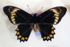 """Fluture """"Papilio madyes chlorodamas"""" din America de Sud8"""
