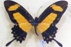 """Fluture """"Papilio torquatus"""" din America de Sud5"""