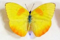 """Fluture """"Phoebis philea"""" din America de Sud7"""